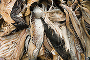 Assorted Fish Catch<br /> Essequibo River<br /> Iwokrama Forest Reserve<br /> GUYANA<br /> South America