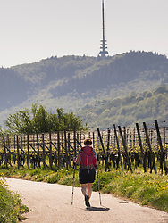 Woman hiking through vineyard terraces, Baden-Wuerttemberg, Germany