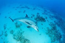 Tursiops aduncus, Indipazifischer Grosser Tuemmler, Indian Ocean bottlenose dolphin, Abu Nuhas, Rotes Meer, Ägypten, Red Sea Egypt