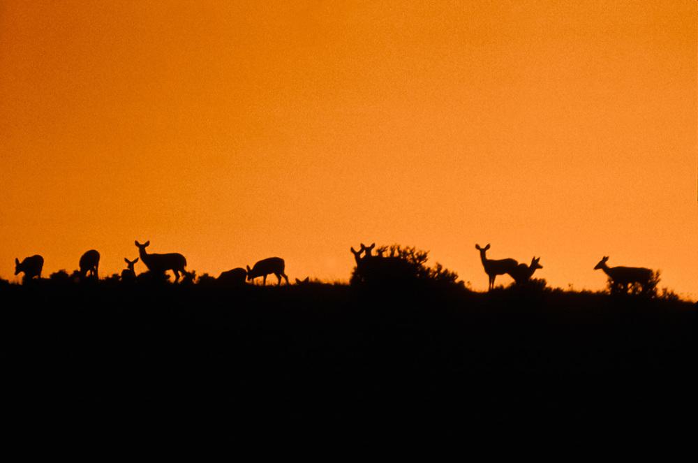 Mule  deer feeding at  sunset, Kittitas County, Washington, USA
