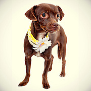 Brown chihuahua finds new home with the help of good photography.