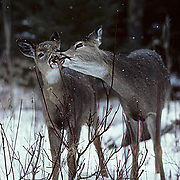 Whitetail Deer, (Odocoileus virginianus) Doe with yearling share bush to browse on. MN