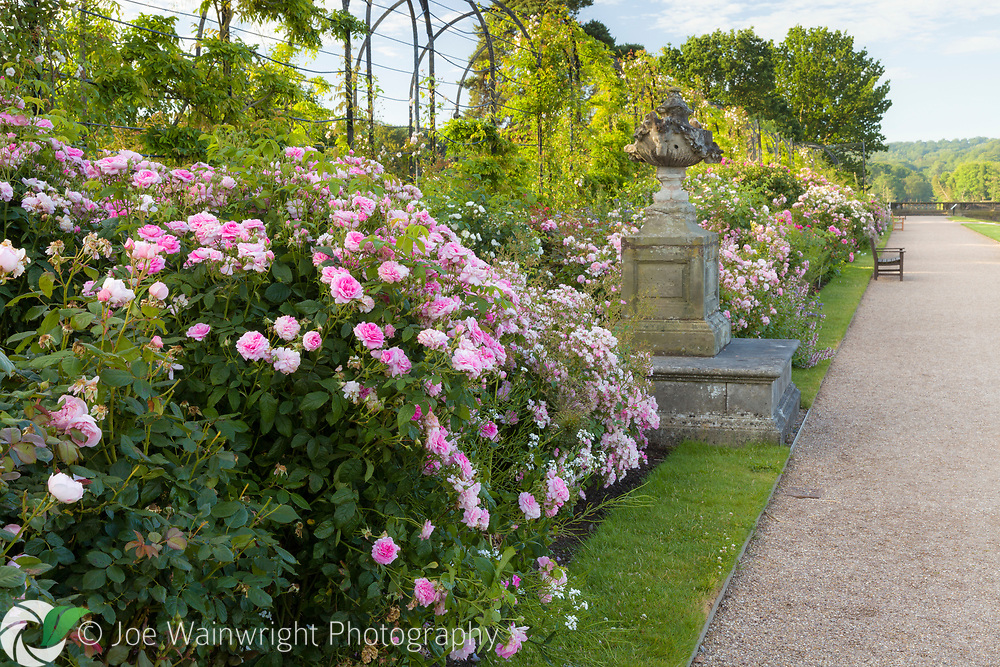 The David Austin Rose Border runs along The Trellis Walk. It includes a shrub roses chosen for their beautiful flowers as well as  fragrance and reliability. Most are  David Austin's English Roses together with with  Old Roses and Hybrid Musks. <br /> The border was designed by Michael Marriott of David Austin Roses.