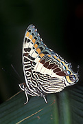 Two Tailed Pasha or Foxy Emperor Butterfly, Charaxes jasius, Africa, underside of wings,