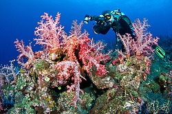An Underwater Photographer approaches lush colonies of soft coral. Black Magic, Barren Island, Andaman Islands, India, Andaman Sea