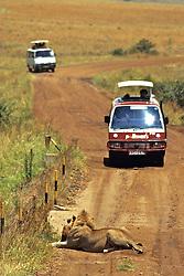 Tourists Viewing Lion & Lioness