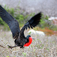 South America, Ecuador, Galapagos Islands. A Magnificent Frigatebird in courtship on North Seymour Islands in the Galapagos.