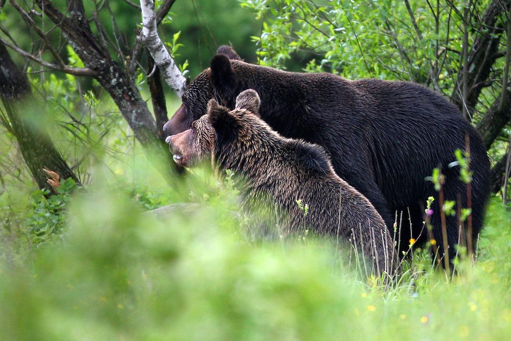 Brown Bear (Ursus arctos) female with cub. Bieszczady Mountains. Poland