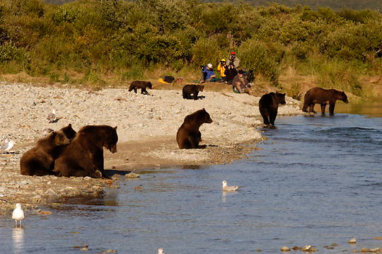 Alaskan Brown Bear (Ursus middendorffi) Mothers with cubs fishing for salmon in river, photographers observing nearby. Katmai National Park. Alaska.