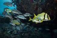 Porkfish-Lippu rondeau (Anisotremus virginicus), Playa del carmen, Yucatan peninsula, Mexico.