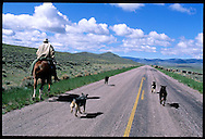 Cowboy with Dragging Y Cattle Company rides down blacktop road herding cattle as dogs follow along; Grant, Montana
