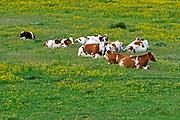 Nederland, Ooijpolder, 14-5-2020 Jonge koeien, pinken, grazen in de wei vol met bloemen, paardebloemen . Tegenwoordig worden veel grassoorten gebruikt die zo genetisch gemodificeerd zijn dat er geen bloemen, veldbloemen meer tussen groeien . Hierdoor hebben ook insecten, vogels en bijen het moeilijker .  Natuurbeheer, biologisch, biologische, Foto: Flip Franssen