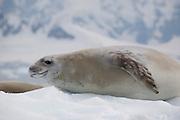 Crabeater seals lie on an ice flow in Wilhelmina Bay, Antarctic Peninsula.