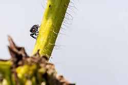 Daring (Bold) Jumping Spider on a wild flower stem