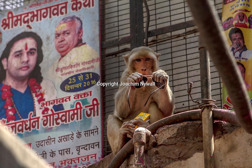 Vrindavan 2017 03 10 Indien<br /> Holi hinduernas vårfest eller färgfest firas i Bankey Bihari Mandir i Vrindavan<br /> Apa som stulit ett par solglasögon<br /> <br /> <br /> ----<br /> FOTO : JOACHIM NYWALL KOD 0708840825_1<br /> COPYRIGHT JOACHIM NYWALL<br /> <br /> ***BETALBILD***<br /> Redovisas till <br /> NYWALL MEDIA AB<br /> Strandgatan 30<br /> 461 31 Trollhättan<br /> Prislista enl BLF , om inget annat avtalas.