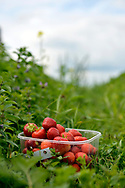 Sangaste, Estonia - July 14, 2015: Freshly picked strawberries in a container in a large strawberry field near Sangaste, Estonia.