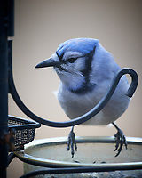 Blue Jayl. Image taken with a Nikon D5 camera and 600 mm f/4 VR telephoto lens (ISO 1600, 600 mm, f/4, 1/160 sec).