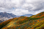 California poppies color the hillside with clouds and mountains in the background in Lake Elsinore, California.