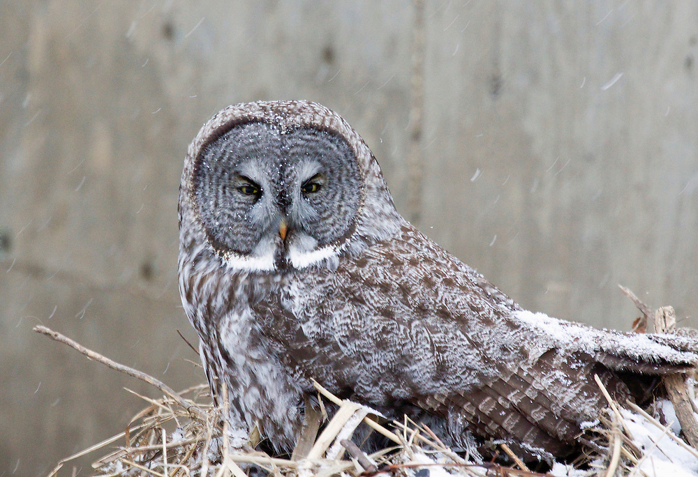 The great grey owl is a very large owl and its length makes it the world's largest owl species.  The females are larger than the males and they reside in the Northern Hemisphere.
