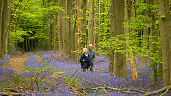 © Licensed to London News Pictures. 27/04/2020. CHORLEYWOOD, UK. A couple walk amongst the bluebells in flower in Philipshill Wood near Chorleywood, Hertfordshire.  The recent warm weather has brought this native species, Hyacinthoides non-scripta, into bloom a few weeks earlier than usual.  A change in the weather is forecast for the next few days with rain and lower temperatures.  Photo credit: Stephen Chung/LNP