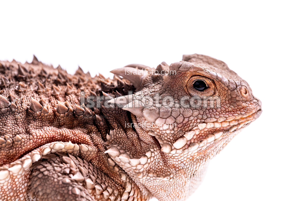 Dragón cornudo,  /  Horned Toad