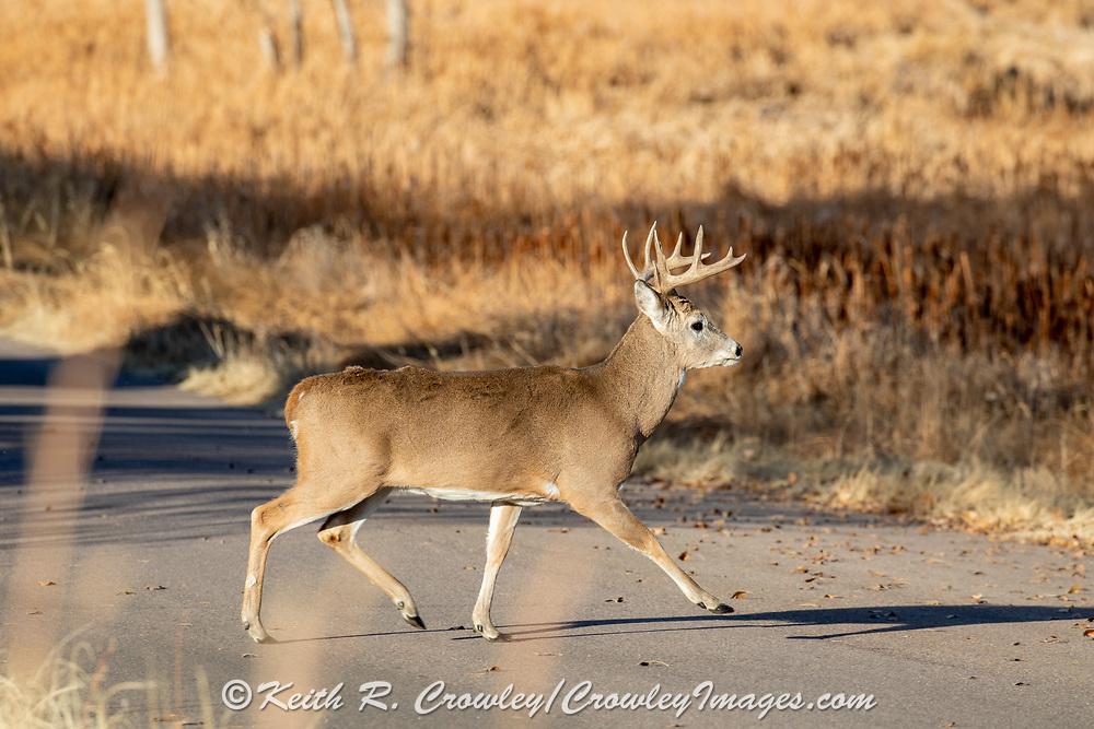 Mature whitetail buck crossing a gravel road in autumn habitat