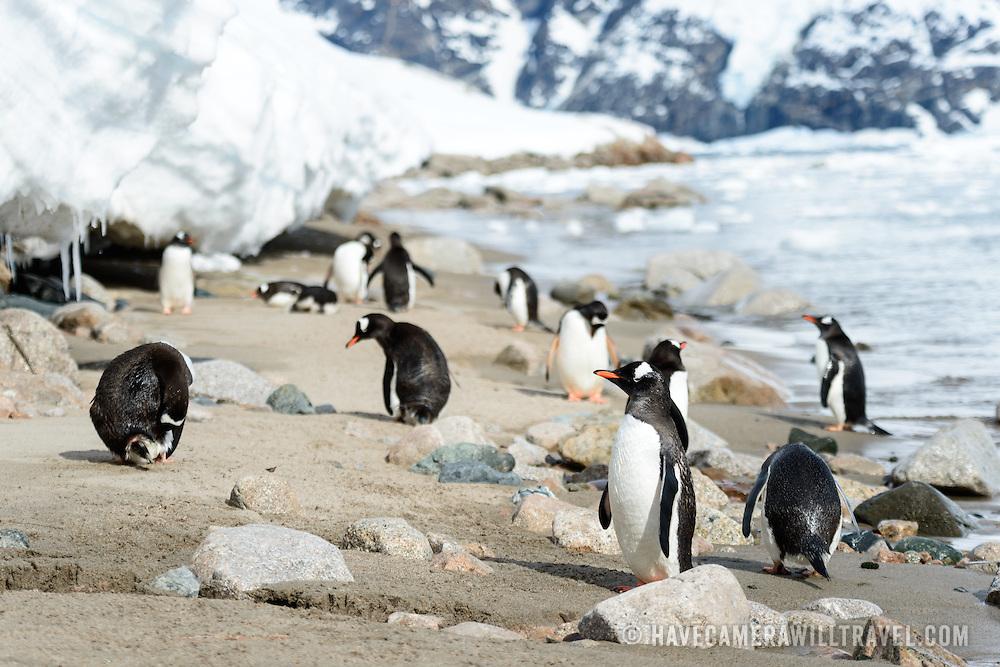 Gentoo penguins on the narrow shoreline at Neko Harbour on the Antarctic Peninsula.