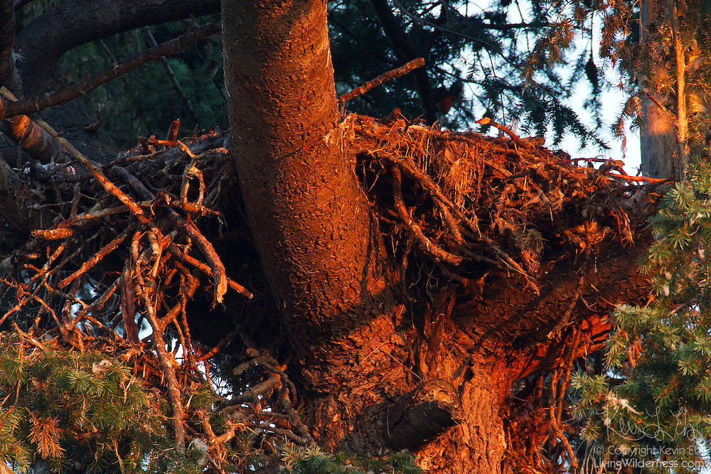 An empty bald eagle nest, otherwise known as an eyrie, is turned golden by the rising sun. Two juvenile bald eagles were raised in this nest. As they grew, they knocked one of the sides down (the hanging debris is visible on the left) to make more room.