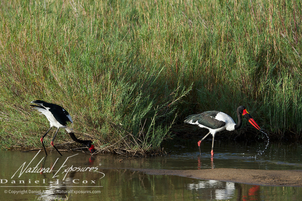 Saddle-billed Stork, pair fishing the small pools of water in the Sand river during the dry season. Malamala Game Reserve, South Africa.