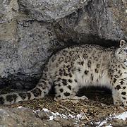 Snow Leopard (Panthera uncia) portrait. Captive Animal.