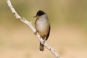 Eurasian Blackcap (Sylvia atricapilla) male on a branch, negev desert, israel