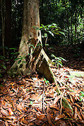 Buttress roots in Peradayan Forest Reserve, Brunei