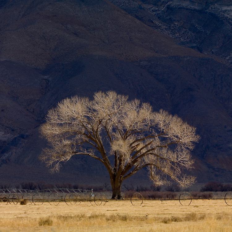 Cottonwood tree Populus freemontii in early spring before any growth occurs near Bishop California. Open Edition Prints and Licensing