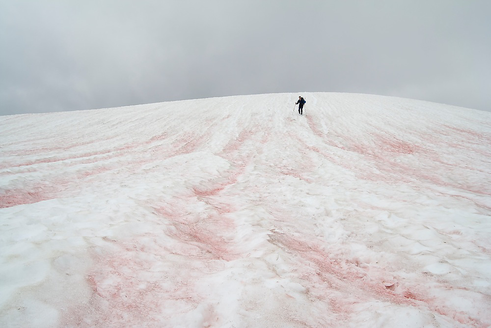 """A hIker descends snow below Tomyhoi Peak in Mount Baker Wilderness, Washington. The snow is made red (""""watermelon snow) by the presence of algae during the summer snow melt."""