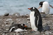 Pair of gentoo penguin (Pycoscelis papua) nests at Elephant Point, Livingston Island, South Shetland Islands, Antarctica