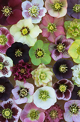 Helleborus orientalis hybrids floating in water, from the garden at Glen Chantry