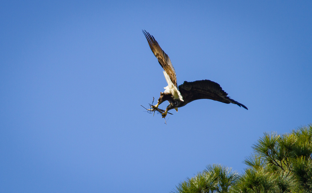 A bald eagle brings new sticks to its nest in a pine along the May River.