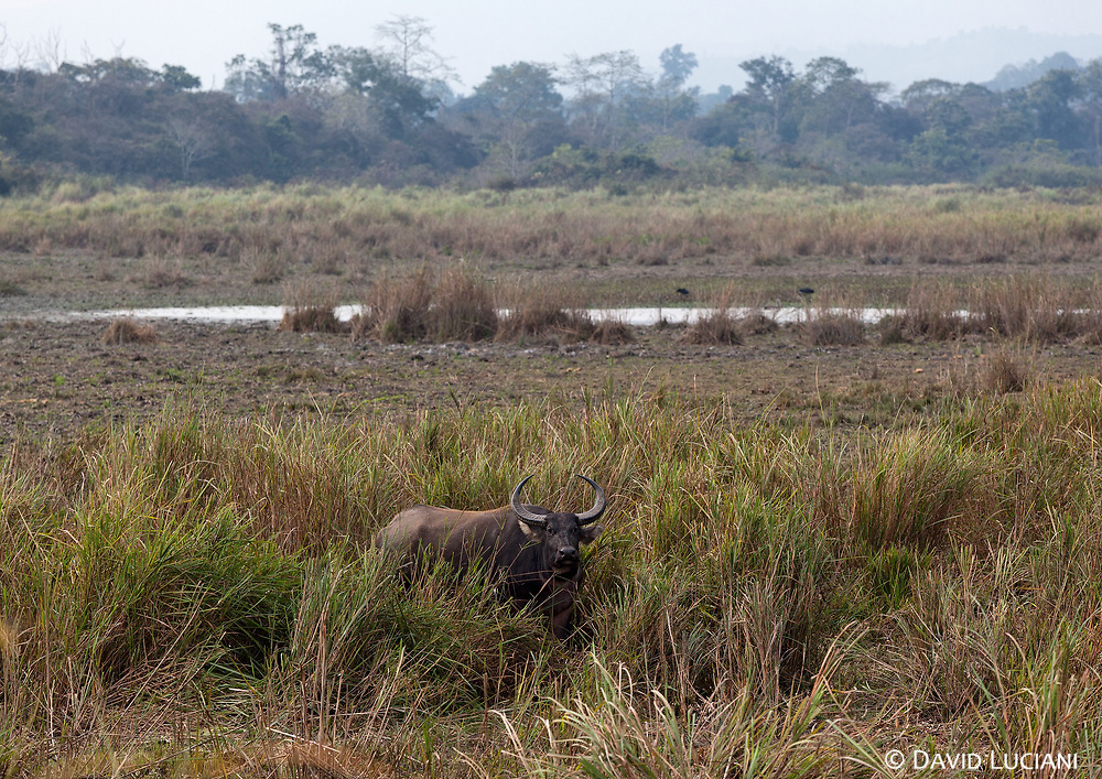 "A wild water buffalo at the western part of Kaziranga National Park. According to ""Wikipedia""- Kaziranga has the largest population of the Wild water buffalo anywhere accounting for about 57% of the world population."