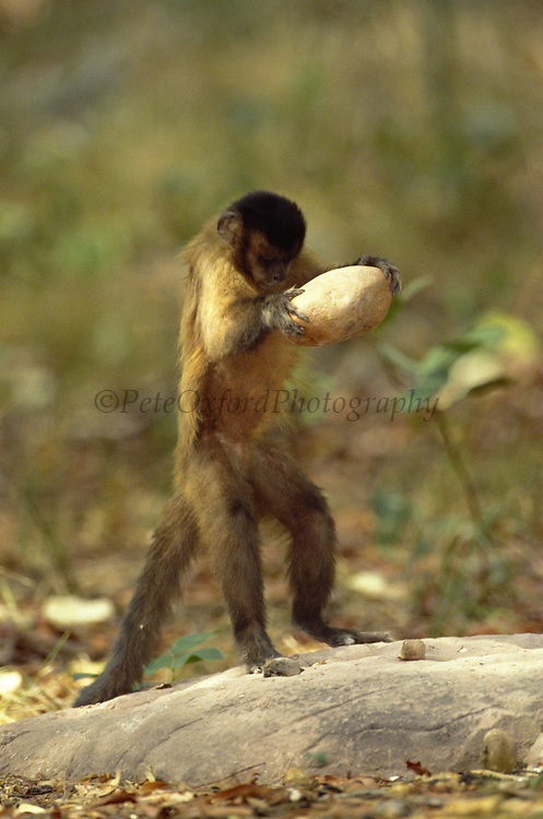 Brown Capuchin Monkey Tool Using<br />Cebus apella<br />Cerrado Habitat, Piaui State.  BRAZIL.  South America<br />They use rocks to crack open palm nuts - returning to the same anvils to do this