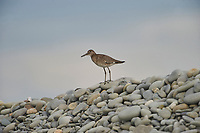 Willet (Catoptrophorus semipalmatus) perched on pebbles, , Nova Scotia, Canada