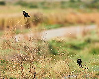 Red-winged Blackbird (Agelaius phoeniceus). Bitter Lake National Wildlife Refuge. Roswell, New Mexico. Image taken with a Nikon D4 camera and 300 mm f/2.8 VR lens.