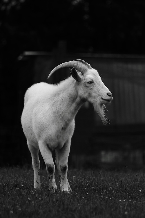 Billy the goat in a rare moment of not causing trouble. Black Sheep Farmed Animal Sanctuary, near Wellington, New Zealand