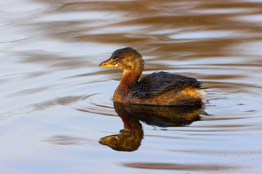 A pied-billed grebe (Podilymbus podiceps) displaying its nonbreeding plumage floats on a pond in Magnuson Park, Seattle, Washington.