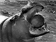Gertrude, a 26-year-old hippopotamus at the Woodland Park Zoo, makes a mouthful of one of the pumpkins donated annually to the zoo the day after Halloween by two local supermarkets. An additional 15 pumpkins were fed to the elephants. (Richard S. Heyza / The Seattle Times, 1989)