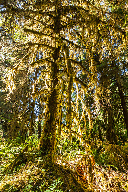 Early morning light sneaking through the trees to light up the moss covered trees, Olympic National Park, Hoh river trail, Washington, USA.