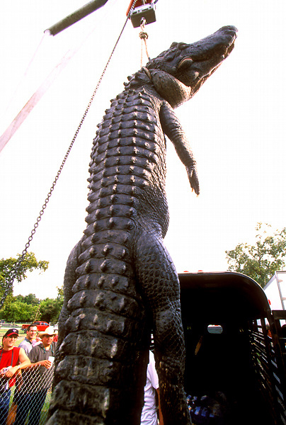 Stock photo of an alligator on display at the Texas Gatorfest in Anhuac.