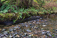 A fallen tree provides a new home for sword ferns and mosses along a creek in Rolley Lake Provincial Park, British Columbia, Canada