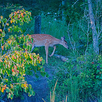 A white-tailed deer fawn (Odocoileus virginianus) walks through a forest beside Lake of the Woods, Ontario, Canada.