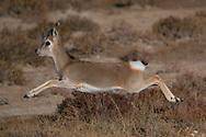 Tibetan gazelle or Goa, Procapra picticaudata, Dulan nature reserve, Tibetan Plateau, Qinghai, China