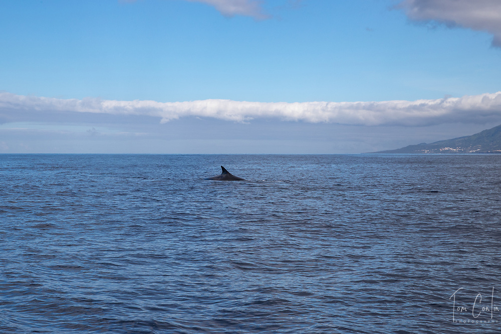 """fin whale ~ Balaenoptera physalus ~<br /> Pico, Azores, Portugal ~ """"This work was performed under the authorization n.0 XX-ORAC-2018 issued by the Government, on February 22, 1018"""""""